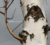 Birke Baum Rinde weiss