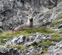 Steinbock - Bergsteigerspezialist der Alpen