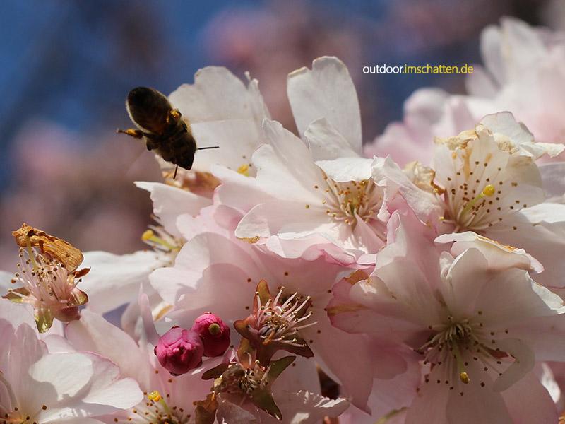 Kirschbluete mit Biene