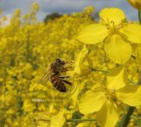 Biene im Rapsfeld