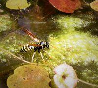 Wespe trinkt Wasser